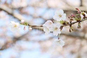 桜の花の写真・フォト