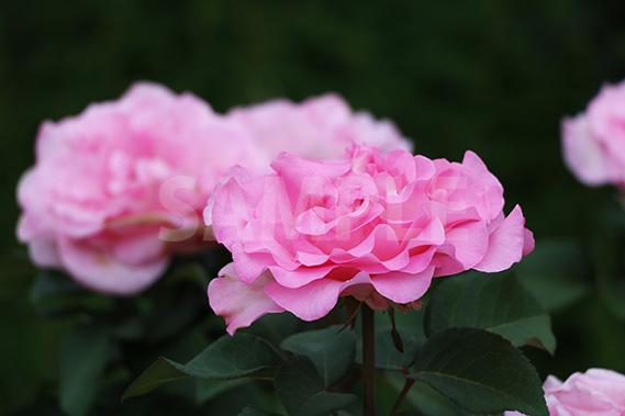 横から見たピンクのバラの花の写真・フォト