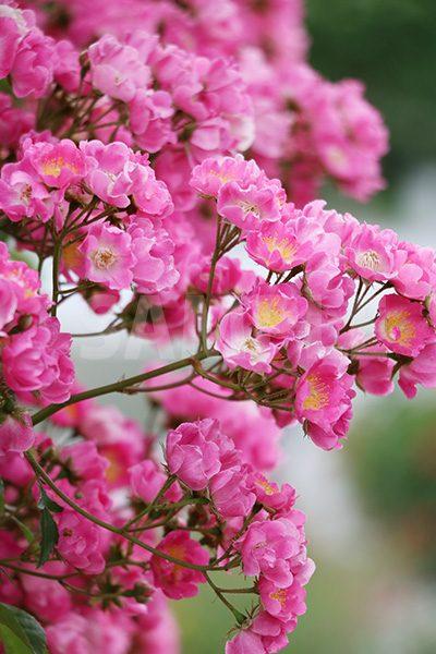 ピンクのバラ(マリア・リサ)の花の写真・フォト