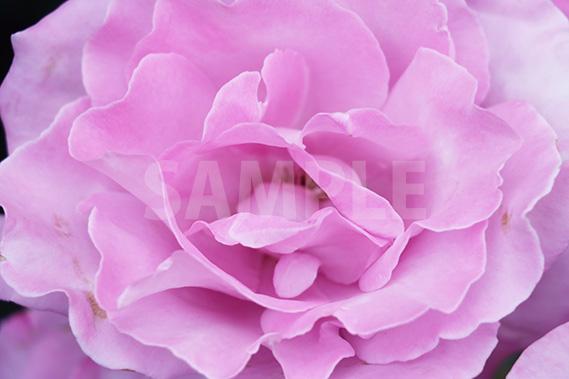 薄紫のバラの花の写真・フォト