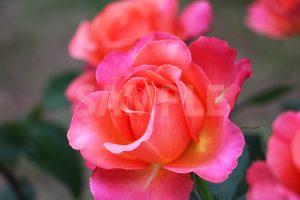 オレンジ・ピンクのバラの花の写真・フォト素材