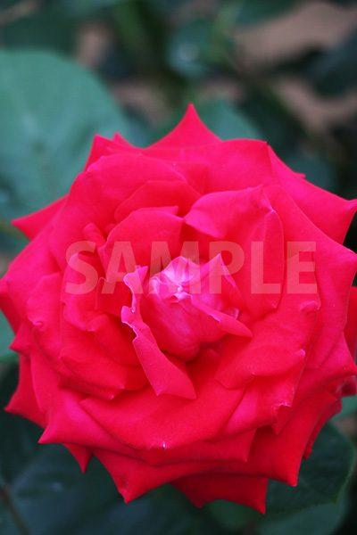 赤いバラの花の写真・フォト