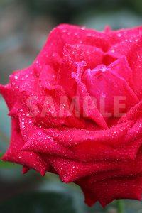 水に濡れた赤いバラの花の写真・フォト