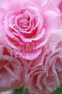 水に濡れたピンク色のバラの花の写真・フォト