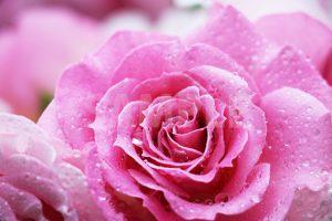 雫をまとったピンク色のバラの花の写真・フォト