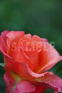 雫をまとったオレンジ・ピンクのバラの花の写真・フォト