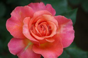 ピンクの薔薇の花の写真・フォト