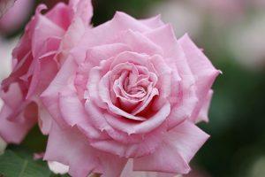 ピンクのバラの花の写真・フォト