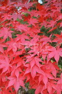 赤く染まった紅葉の写真・フォト素材