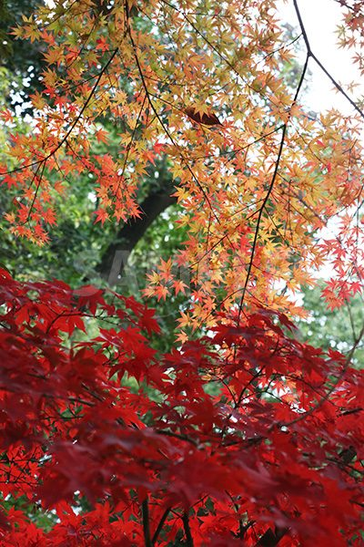 紅葉のグラデーションがかった写真・フォト素材