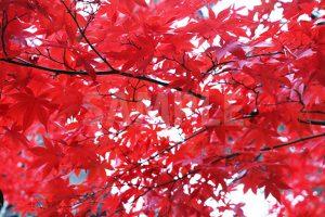 赤く染まったモミジの葉の写真・フォト素材