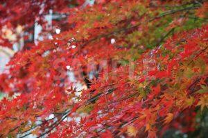 グラデーションがかった紅葉の写真・フォト素材